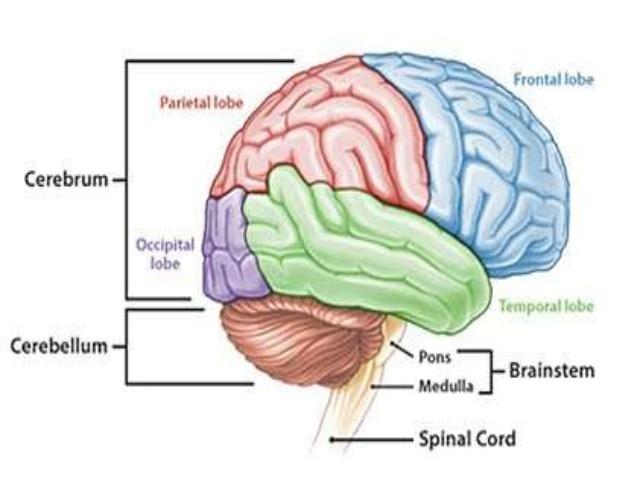 Di Usia Berapa Otak Manusia Mencapai Puncak Kecerdasannya?